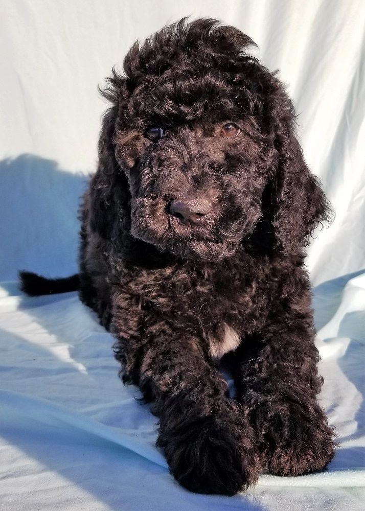 Goldendoodles Goldendoodle Breeders Goldendoodle Goldendoodle Puppy
