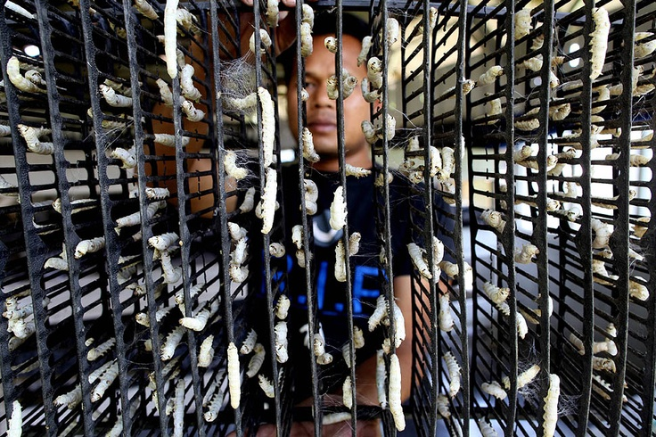 Silkworms hang from metal braces at a silk fiber factory in Bogor, Indonesia, on July 2, 2012.