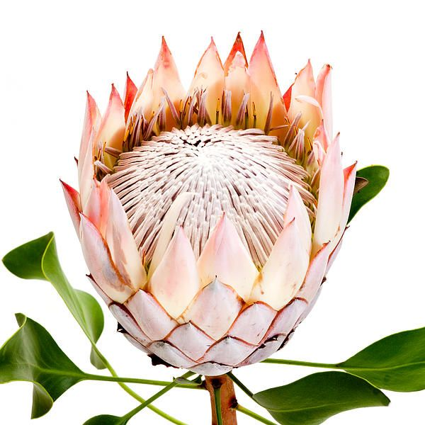 An author friend sent me these phenomenal protea (proteas?) and John had one of them pose in his studio. 'King Protea bloom'