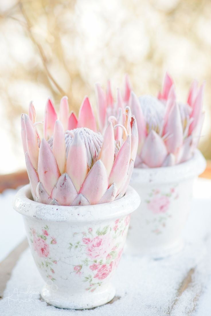 Protea- don't think that exotic flowers can't match a vintage style wedding.