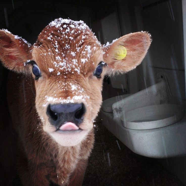 adorable little cow covered in snow