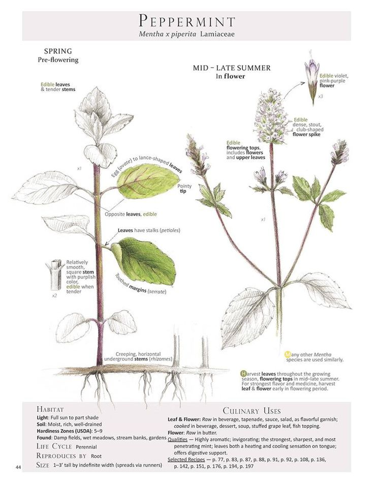 Peppermint (Mentha x piperita) Plant Identification pages from  Foraging & Feasting: A Field Guide and Wild Food Cookbook by Dina Falconi; illustrated by Wendy Hollender.