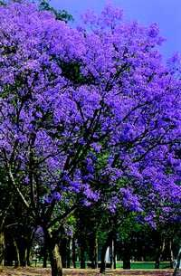 Jacarandá-mimosaefolea,native,south Brazil,Peru and Argentina - Jardim de Flores
