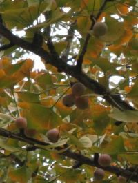 Ginkgo - Growing & using Ginkgo fruit for food