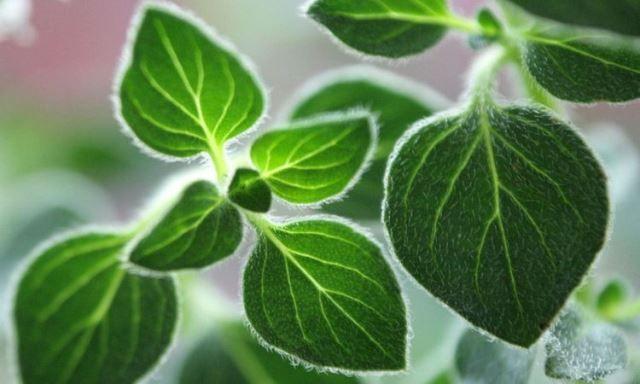El orégano es un arbusto de hojas perennes y de él se utilizan tantos las hojas como las flores que es donde se concentra su aroma característico. Puede cultivarse en casi cualquier tipo de terreno, incluso en macetas y prefiere el clima cálido, seco y soleado. El orégano del Mediterráneo cuenta con un clima ideal …