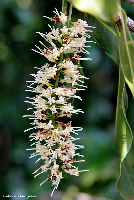 Macadamia integrifolia is a tree in the Proteaceae family. Native to Queensland, its common names include bauple nut, macadamia nut, Queensland nut or nut oak