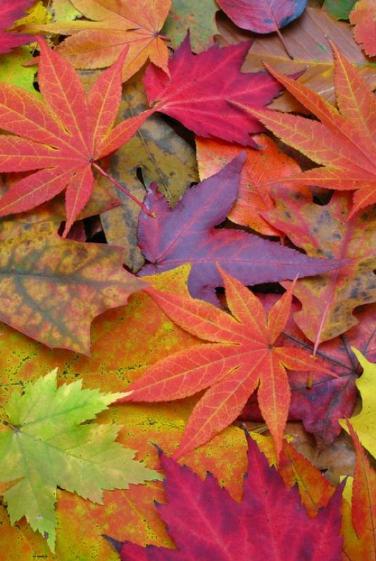 Fall leaves of green purple and orange