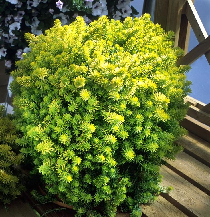 12 Best Images About CREEPING SEDUM ANGELINA On Pinterest