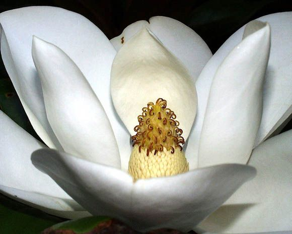 The Magnolia flower symbolism associated with perseverance and love of nature.