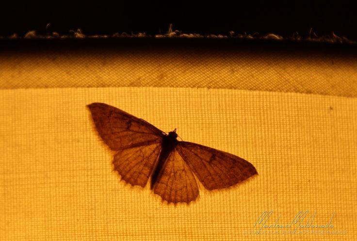 https://flic.kr/p/A86Lpz | Mariposa Nocturna
