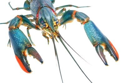 Freshwater Lobster, Red Claw Crayfish, Australian Red Claw For Sale, australian red claw crawfish, red claw crayfish, australian red claw for sale, australian crayfish for sale