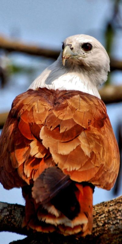The Brahminy Kite or red-backed sea-eagle is a medium-sized bird of prey in the family Accipitridae, which includes many other diurnal raptors (eagles, buzzards and harriers). Endemic to the Indian subcontinent, SE Asia & Australia, they stay mainly on the coast and in inland wetlands where they feed on dead fish and other prey. Adults have a reddish brown plumage with a contrasting white head and breast.