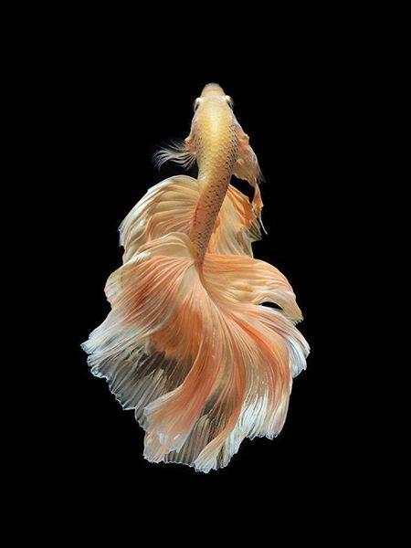 L'élégance du poisson combattant du Siam