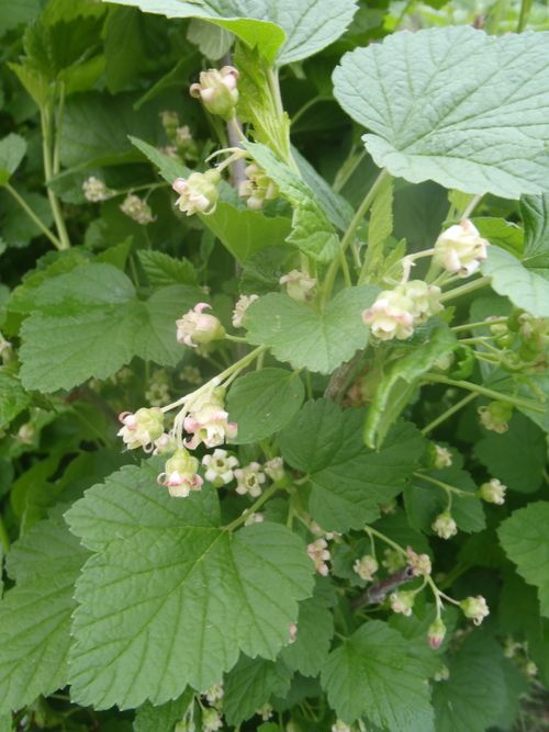 Currants are another multi-purpose plant in our farm's orchard guilds. Their flowers and foliage soften centerpiece bouquets and the fruit is a ruby red addition to your salad bowl and bouquet.