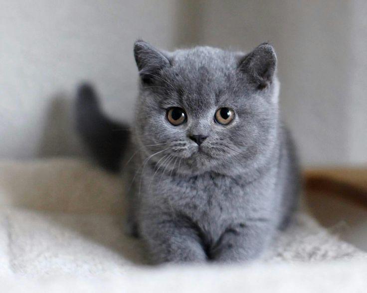 Adorable British Shorthair Kitten Katzen Katzenrassen Sweet Cats In 2020 Baby Cats Cute Baby Animals