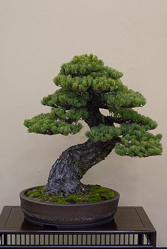 Pine Bonsai ~ Twisted Trunk style (Nebikan).