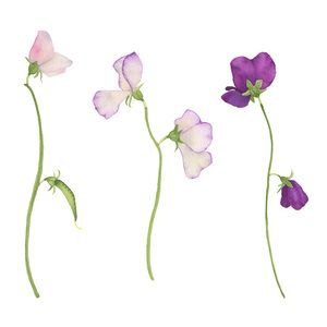 Sweet Pea Flowers by Anne Butera                                                                                                                                                                                 More