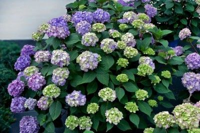 "Hydrangea Macrophylla 'Bloomstruck' -- Grows 3 to 4' tall by 4 to 5' wide. Newest addition to Endless Summer Collection. This reblooming mophead flowers on old and new wood and has perfectly rounded flowers averaging 3.5 - 5"" across. The intense rose-pink, violet or blue flower heads are held upright on striking red-purple stems."