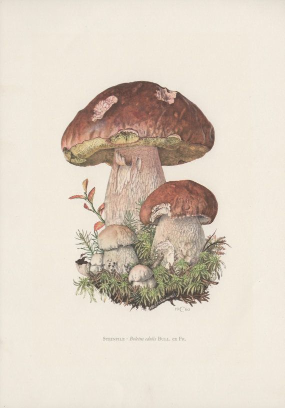 Vintage Botanical Print, Set of 6 Mushroom Illustrations, Boletus Fungi  From a collection of fungi lithographs published in 1963. Original