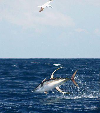 Yellowfin tuna - Wikipedia