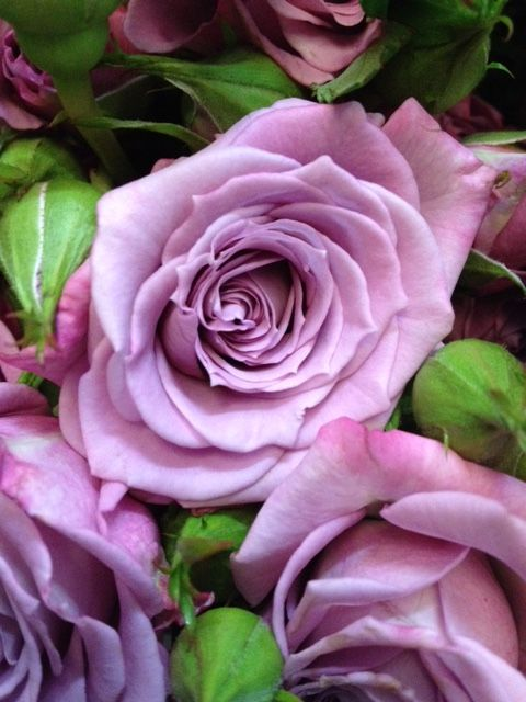 Spray Rose 'Ocean Mikado'...Sold in bunches of 10 stems from the Flowermonger the wholesale floral home delivery service.