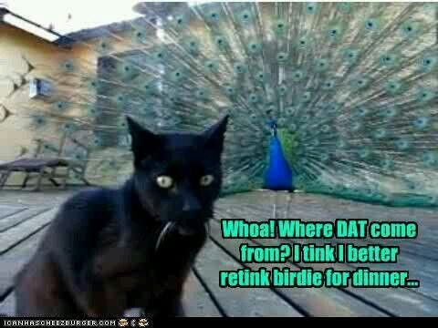 peacock funny animal pictures pinterest