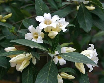 Sell one like this  HARDY AFRICAN TREE GARDENIA POWERFUL SCENT*10 FRESH EASY SEEDS*TOLERATES FROST