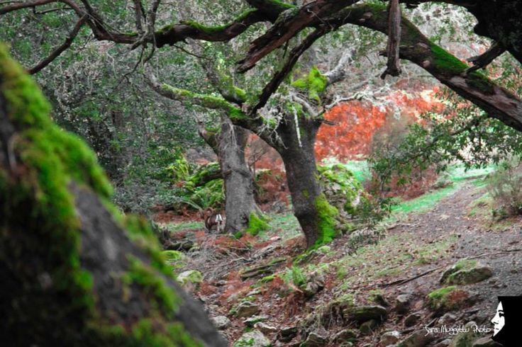 Sardegna-Nel cuore della foresta incantata di Tureddu, a Orgosolo.