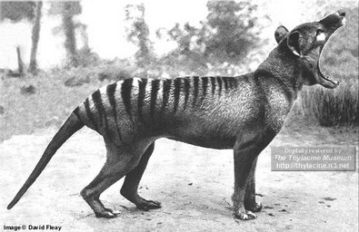 Thylacine - Commonly known as Tasmanian Tiger - Virtually wiped out in the wild due to constant hunting - as finally recognized as being in danger of becoming extinct in 1936 -  that same year the last Thylacine, named Benjamin, died on 7 September as the result of neglect