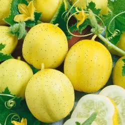 Lemon-yellow, spherical cucumbers that are tender and sweet. These easy-grow curious yet attractive 'rounds' are excellent for salads and pickling. You can expect a long and fruitful harvesting season with this heavy-croppers.