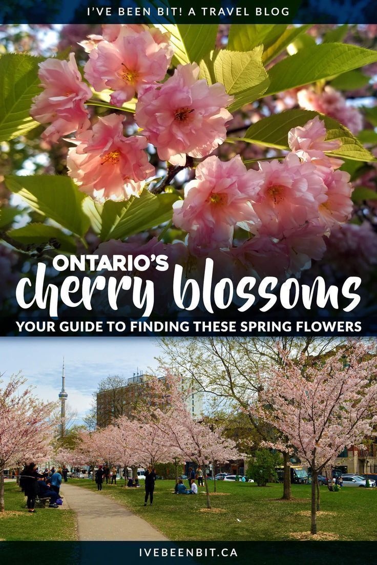 Cherry Blossoms In Ontario The Best Guide For Finding These Flowers I Ve Been Bit A Travel Blog Ontario Travel Canada Travel Canadian Travel