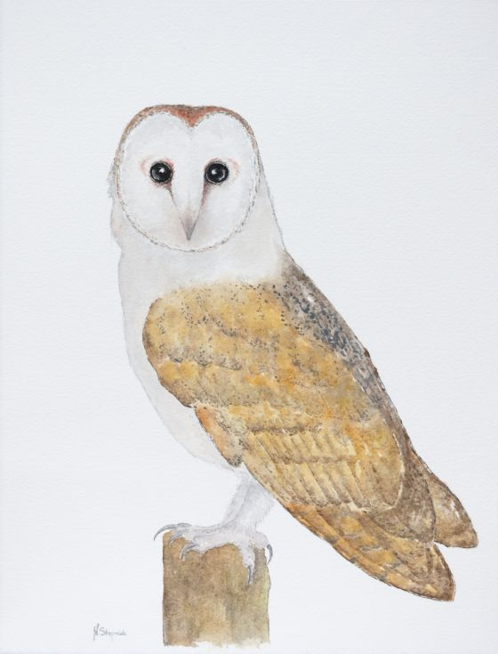 ARTFINDER: The barn owl (Tyto alba) by Malgorzata Stepniak - The barn owl (Tyto alba), original watercolor painting    Please note that colors may be slightly different because of different display settings.    The ite...