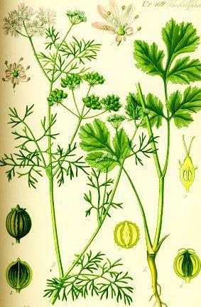 Ceai de Coriandru – Beneficii, Indicații, Preparare