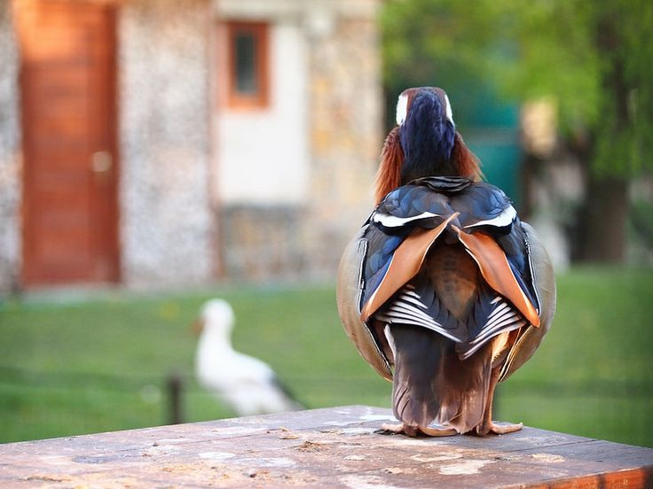 Mandarine duck's back