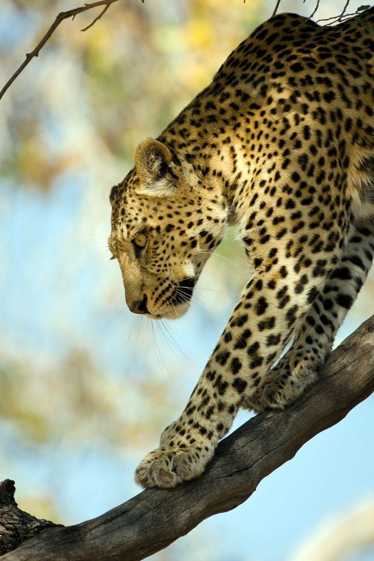 Leopard at Xakanaxa, Botswana - Leopard Panthera pardus