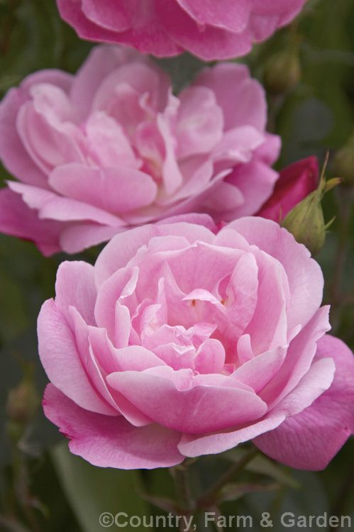 Rosa 'Old Blush', one of the first China roses introduced to Europe, reputed arriving in Sweden in 1752, but certainly present in England before 1793. It flowers in spring and then again in late summer and is also known as 'Parsons' Pink China'.