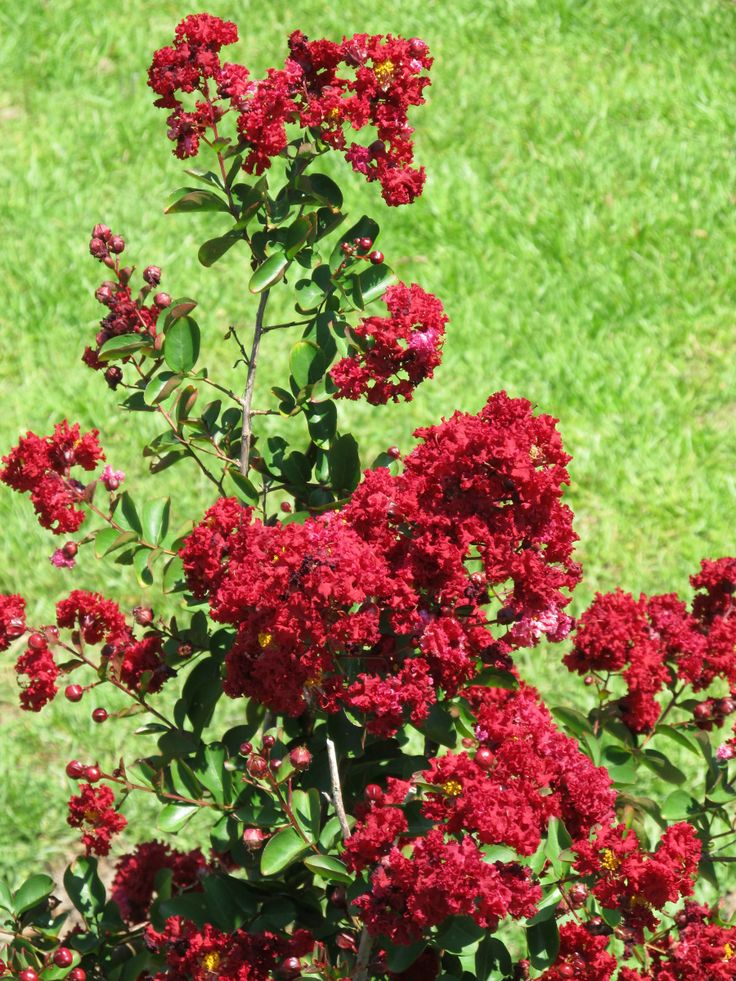 Siren Red Crepe Myrtle Garden Tips Pinterest Sirens