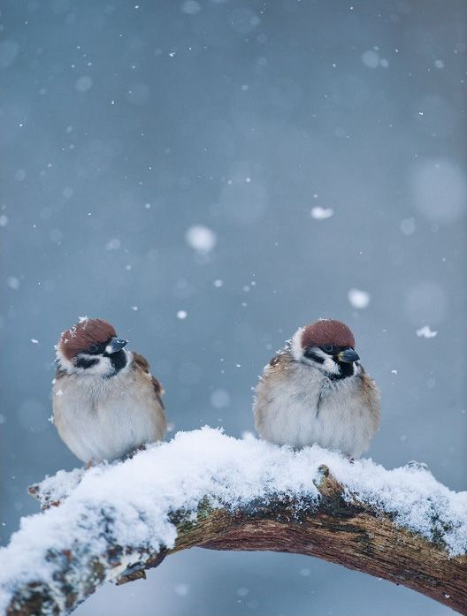 Plump and long-tailed, American Tree Sparrows are busy visitors in winter backyards and weedy, snow-covered fields across southern Canada and the northern United States.