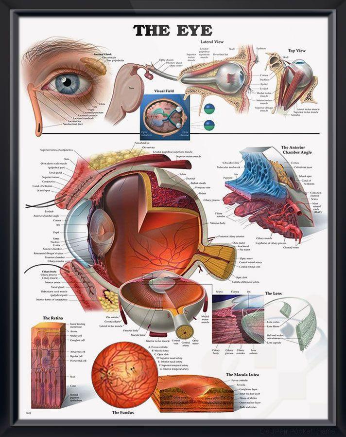 Ocular Anatomy Coloring Book : The 25 best eye anatomy ideas on pinterest face human