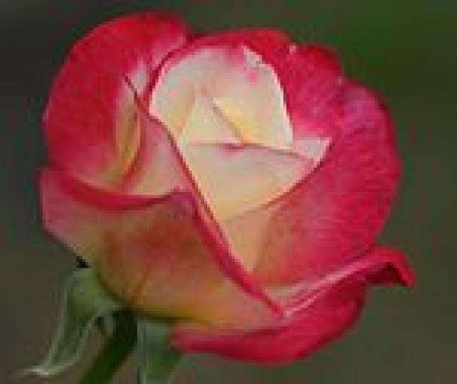 Flor Nacional de England .Rosa Tudor (Gran Bretaña)