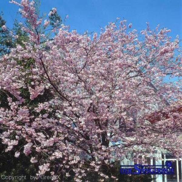 Viele Zier Obstbäume Haben Klassische Schirmkronen Als Schöne  Schattenspender Im Garten