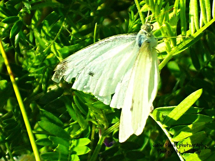 Lovely White Moth feeding on Pollan taken off a trail in Belleville ontario