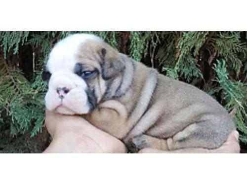 Sale adult terrier boston