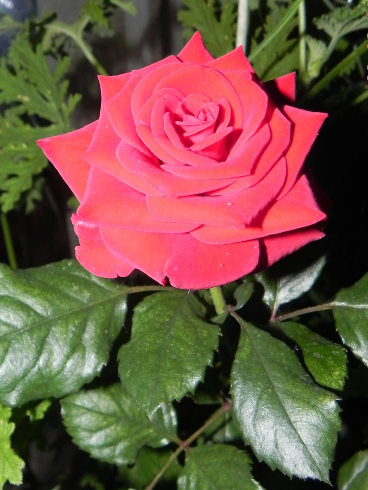 This is a beautiful Rose.
