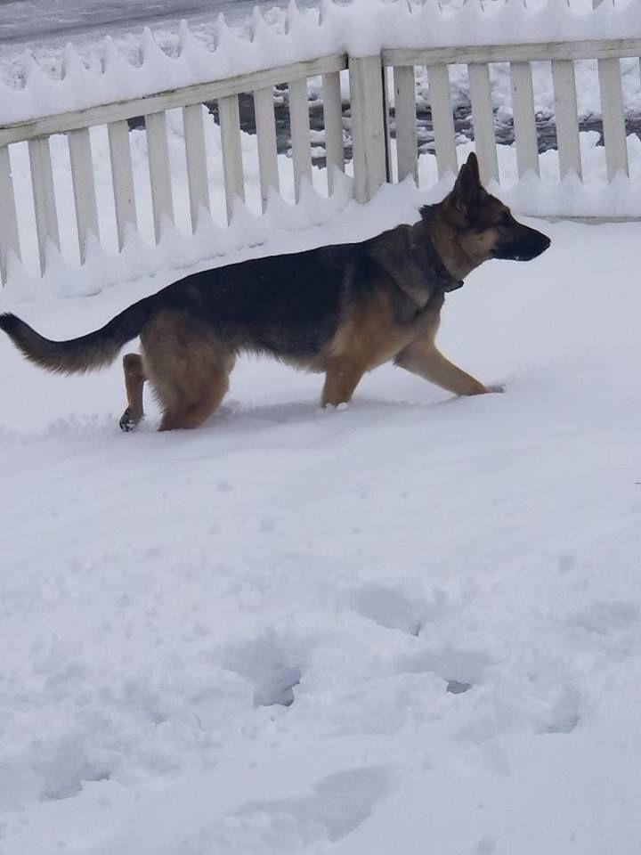 Cleo Shelby Ike Pup Dog Breeder Shepherd Dog German Shepherd Dogs