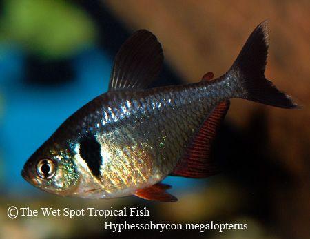 Hyphessobrycon megalopterus