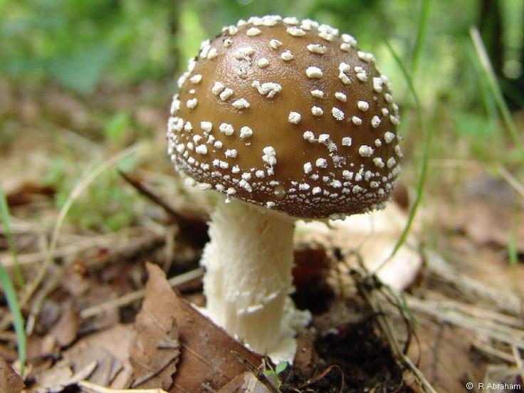 Mario Brown Mushroom Name