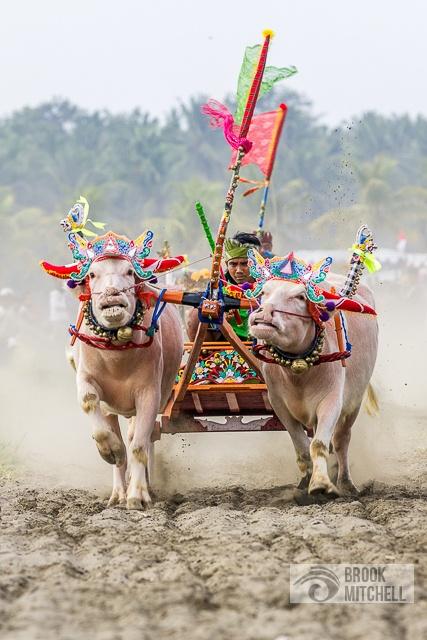 Bull Racing in Bali www.rudisbalitours.com