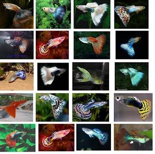 """guppy fish... cantiiiik en cute banget ga siiih ??? Black molly tropical fish.. luttuuuu-nyaaaahhh beruntung deh, bisa dirumah..jdi slain bisa urus 2abg-ku """"fulltimer"""" mom, bisa banget nikmati hobby memelihara ikan2 tropis lucu iniii...black molly mau enjoy hobby, jdi full time mami...en ngantor juga, klik ini deh : www.moms-bisnis.tk"""