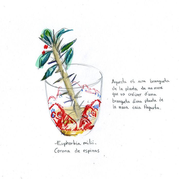 Euphorbia milii . Corona de espinas .